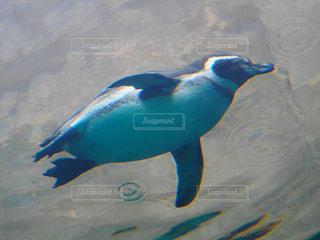 泳ぐペンギンの写真・画像素材[2269381]