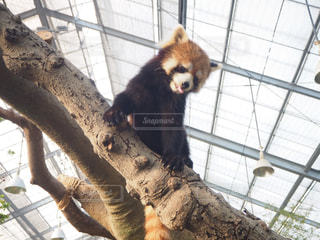 レッサーパンダの写真・画像素材[2269419]