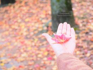 楓の写真・画像素材[2269432]