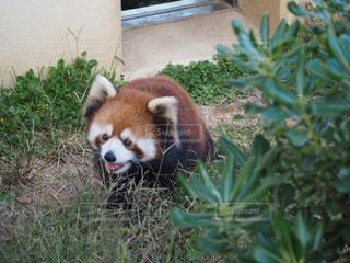 かけまわるレッサーパンダの写真・画像素材[2269433]