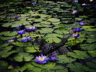 大きな紫色の睡蓮の写真・画像素材[2269436]