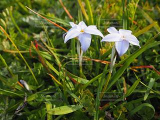 植物の薄青で白い花の写真・画像素材[2269453]