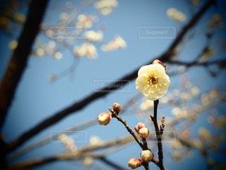 梅の写真・画像素材[2269459]