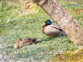草の上に座っている鴨の写真・画像素材[2269470]