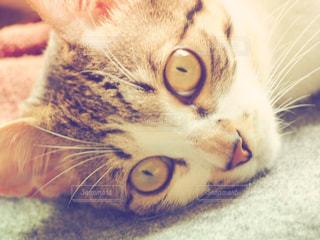 横になってカメラを見ている猫の写真・画像素材[2269494]