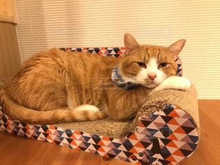 ベッドに横たわるオレンジと白の猫の写真・画像素材[2269496]