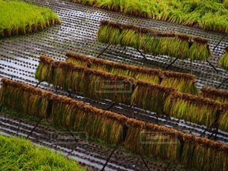 稲刈りの写真・画像素材[2391603]