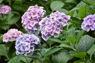 背景にハルダ・クラガー・ライラック・ガーデンのある花のクローズアップの写真・画像素材[3330723]