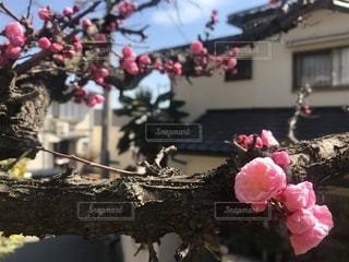梅の写真・画像素材[2197779]
