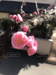 梅の写真・画像素材[2197780]
