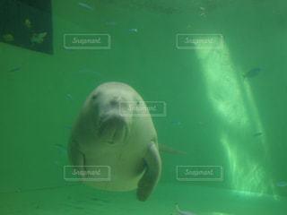 水中で泳いでいるジュゴンの写真・画像素材[2195954]