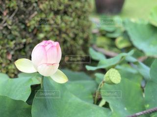 咲きかけの花びらの写真・画像素材[2254009]