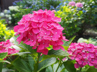 鮮やかなピンクのあじさいの写真・画像素材[2194170]
