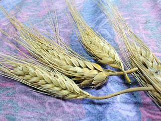 小麦の写真・画像素材[2200036]