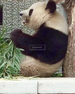 パンダの写真・画像素材[2208307]