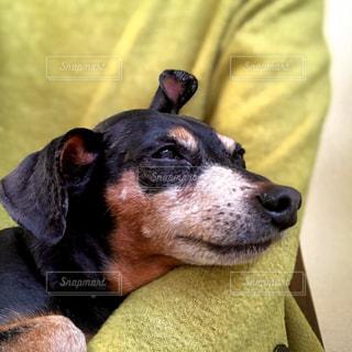 眠くてたまらないワンコの写真・画像素材[2859037]