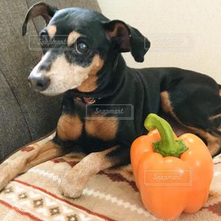 パプリカと犬の写真・画像素材[3167606]