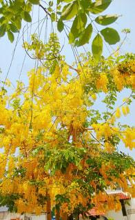 華やかに咲く沙羅双樹の写真・画像素材[2194659]