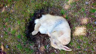 地面に横たわる茶色と白い犬の写真・画像素材[2217506]