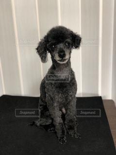 カメラを見ている小さな黒い犬の写真・画像素材[2193181]