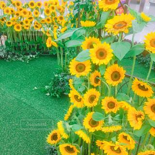 黄色い花の写真・画像素材[2308984]