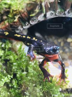 沖縄シリケンイモリの写真・画像素材[2192589]