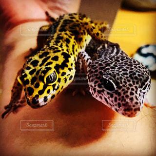 爬虫類の接写の写真・画像素材[2199181]