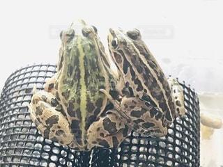 仲良しなトノサマガエルの写真・画像素材[3336950]