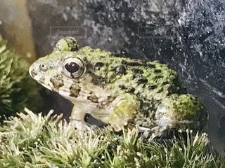 地面に座っているカエルの写真・画像素材[3336952]