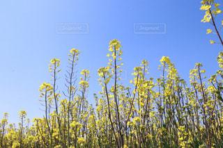 菜の花畑の写真・画像素材[2806597]