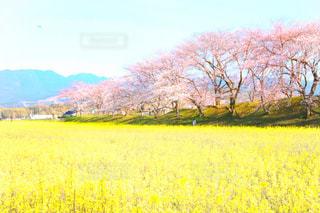 野原の黄色い花の写真・画像素材[2807036]