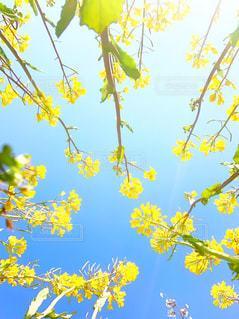 菜の花の写真・画像素材[2807029]