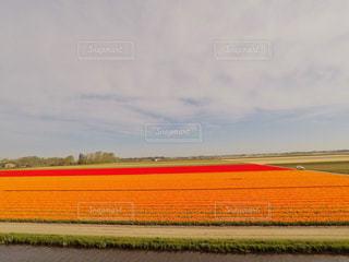 チューリップ畑の写真・画像素材[2940592]