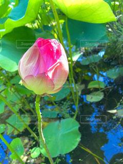 蓮の花の写真・画像素材[2197244]