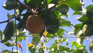 木の実る果物の写真・画像素材[2198312]