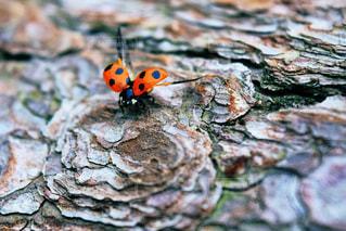 飛び立つてんとう虫の写真・画像素材[2198075]