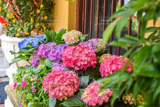 シンガポールで見かけた鮮やかな紫陽花の写真・画像素材[2255679]