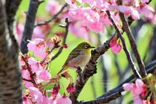 メジロと桜の写真・画像素材[2228727]