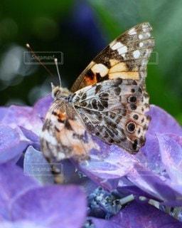 ヒメアカタテハと紫陽花の写真・画像素材[2254365]
