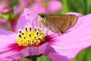 コスモスの蜜を吸う蝶の写真・画像素材[2409399]