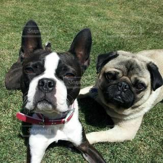 草の上に座っている茶色と白の犬の写真・画像素材[2199437]