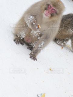 雪の上に座っている猿の写真・画像素材[1003545]