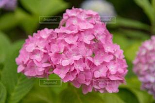 紫陽花の写真・画像素材[2205173]