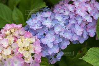 紫陽花の写真・画像素材[2205174]