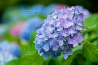 紫陽花の写真・画像素材[2205175]