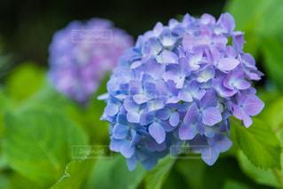紫陽花の写真・画像素材[2205176]