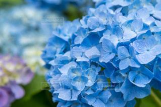 紫陽花の写真・画像素材[2205177]