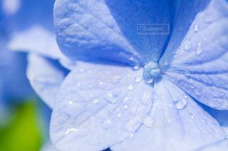紫陽花の写真・画像素材[2205178]
