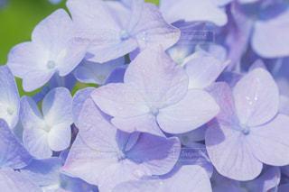 紫陽花の写真・画像素材[2205179]