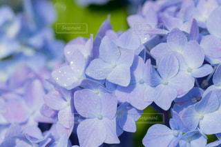 紫陽花の写真・画像素材[2205180]